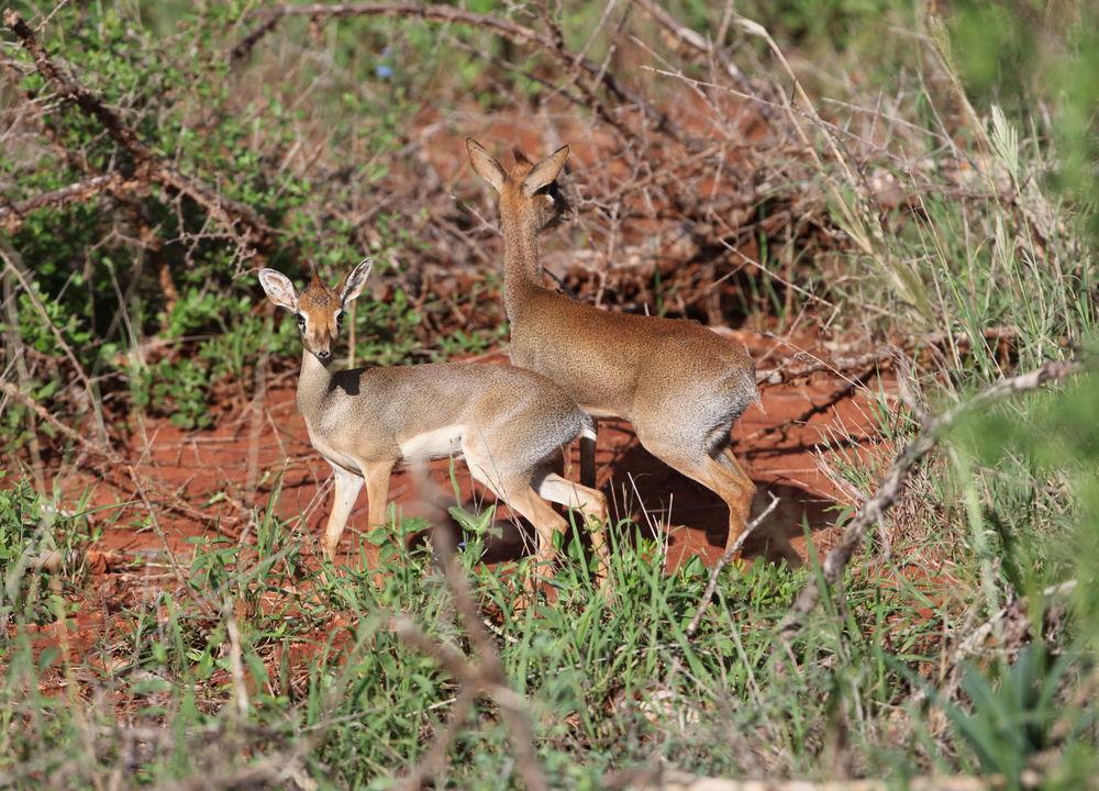 I Tsavo fins det mange dikdik-antiloper - den minste antilopearten