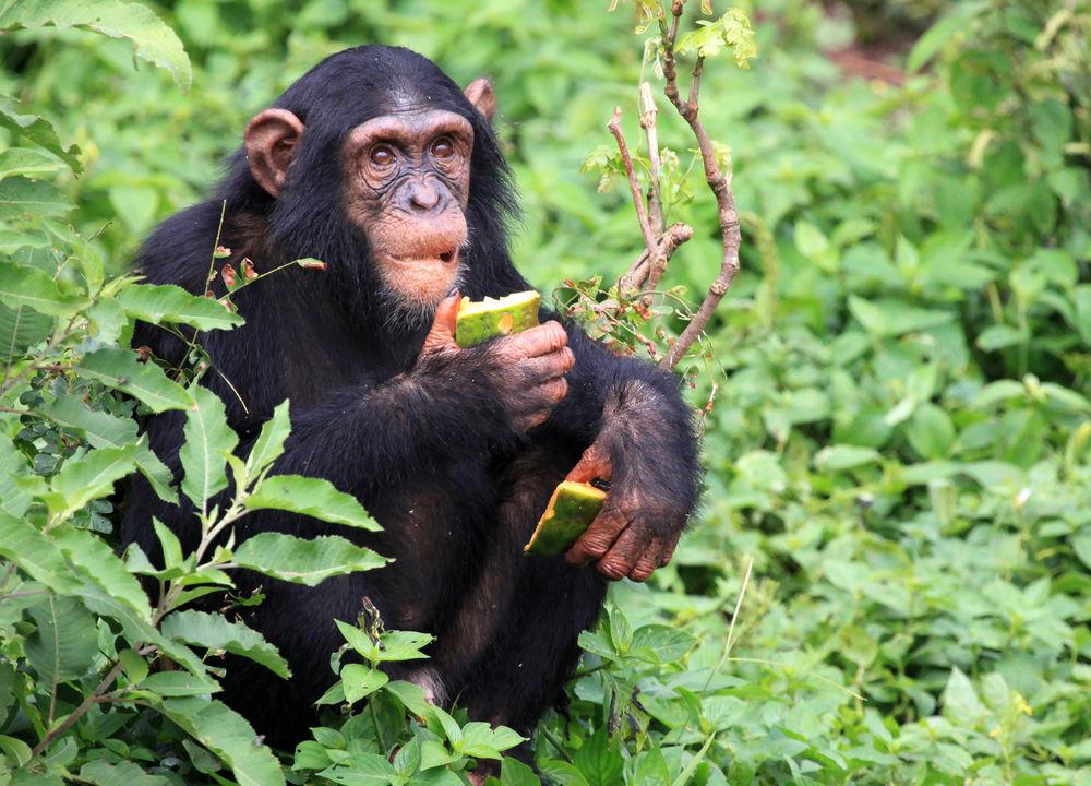 <P>Vid Lake George finns goda möjligheter att se schimpanser.</P>