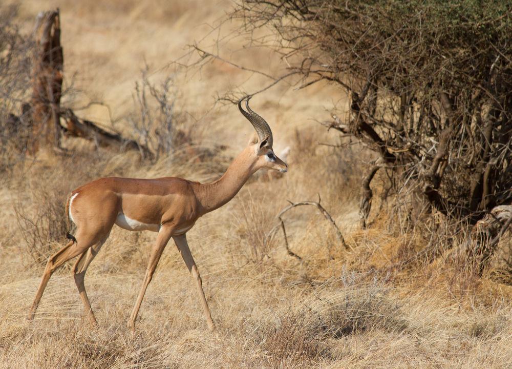<P>Gerenuken (giraffantilope) er relativt vanlig i Samburu</P>