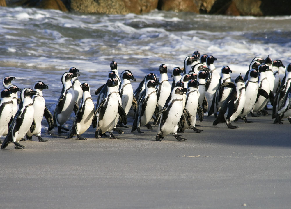 Pingviner på Boulders Beach i Simonstown utenfor Cape Town.
