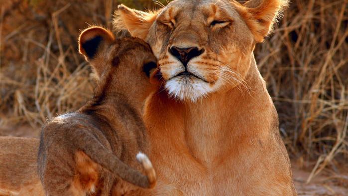 Løvemamma med unge i Samburu Nasjonalpark