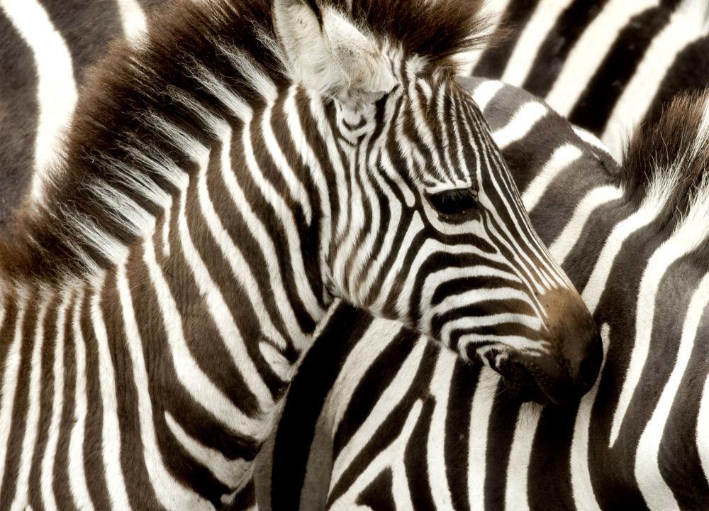 Svart med hvite striper eller hvit med svarte?