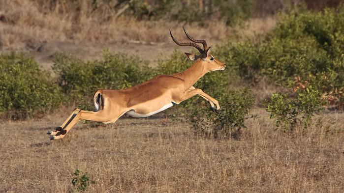 En antilop på språng under safarin i Eastern Cape.