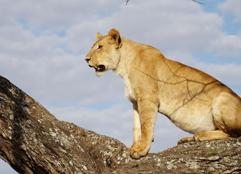 Ett mätt lejon