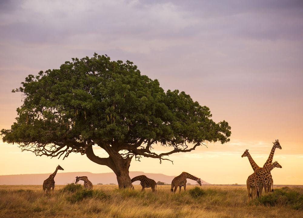 Giraffer under ett Akaciaträd