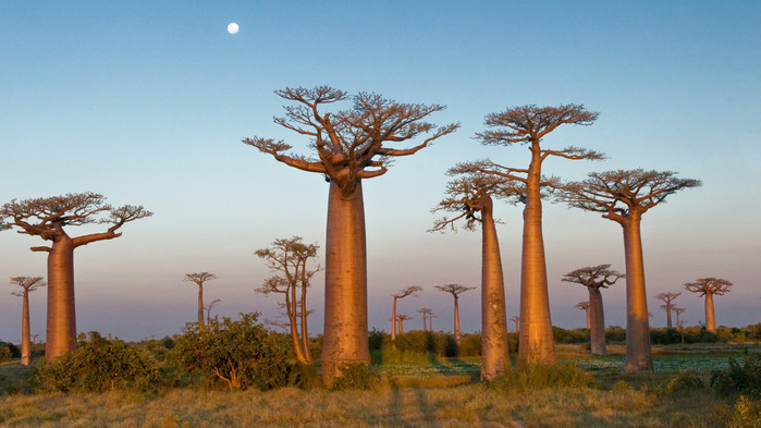 Baobabtrær