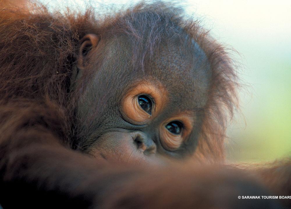 Orangutangbaby i Sepilok