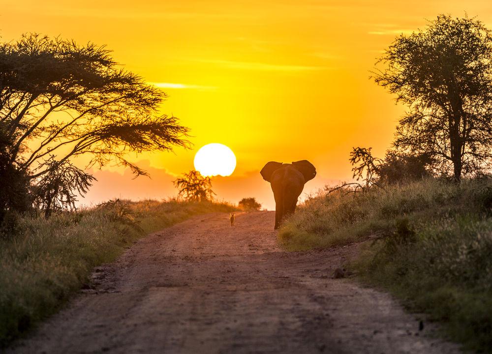 En schakal och en elefant slår följe i soluppgången.