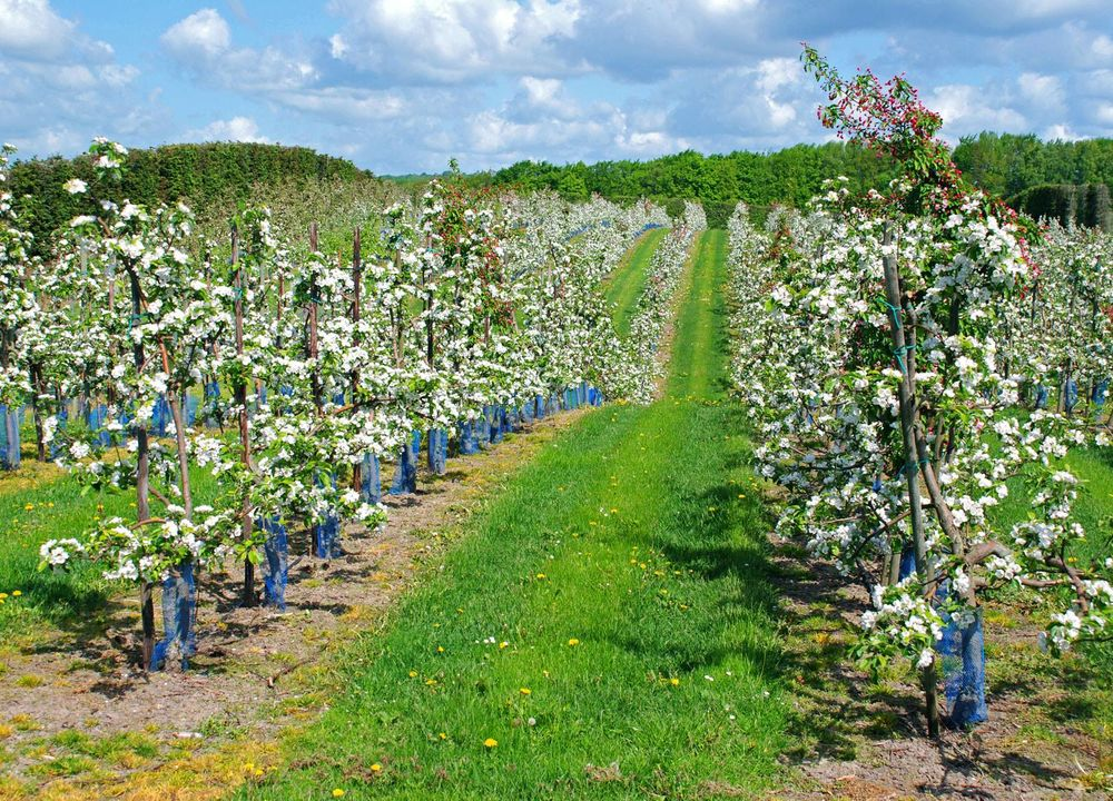 Strax söder om Kivik, nära Stenshuvud, planterade Henric Åkesson 1888 de första äppelträden i trakten.
