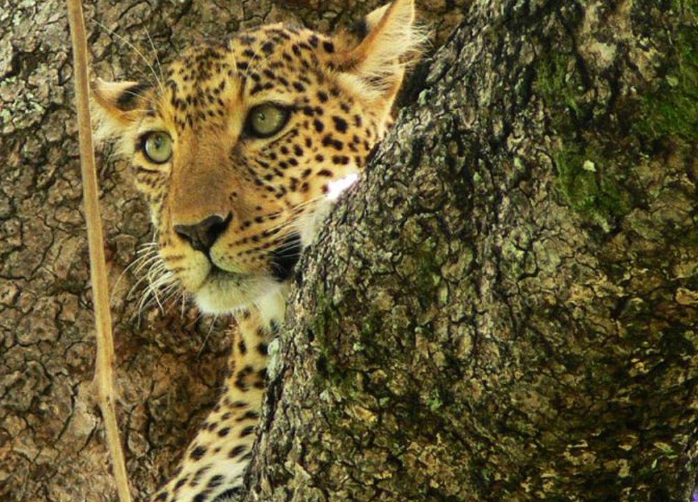 Med litt flaks ser man leopard i South Luangwa som har Afrikas høyeste konsentrasjon av leopard.