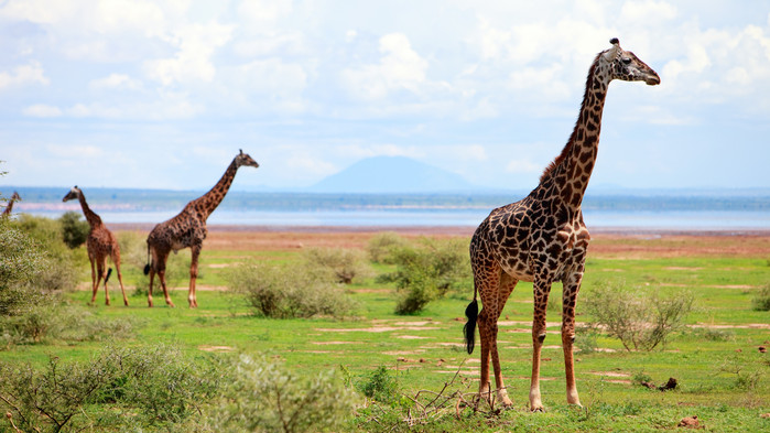 Giraffer under en safari i Lake Manyara.
