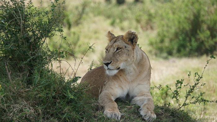 Lejonhona i Masai Mara