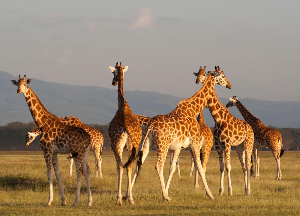 Giraffer iMasai Mara.