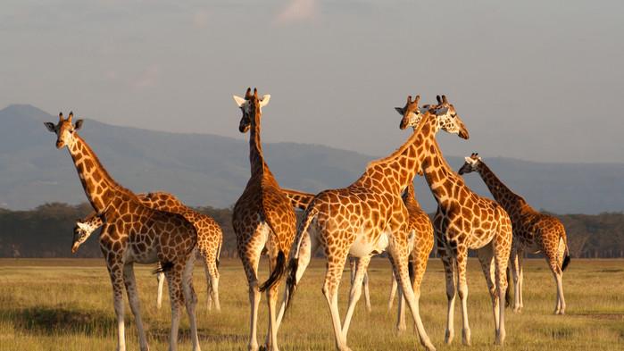 Giraffer Masai Mara.