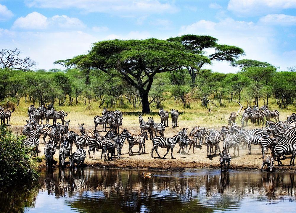 Fra november til juni befinner den store migrasjonen seg normalt i Serengeti.