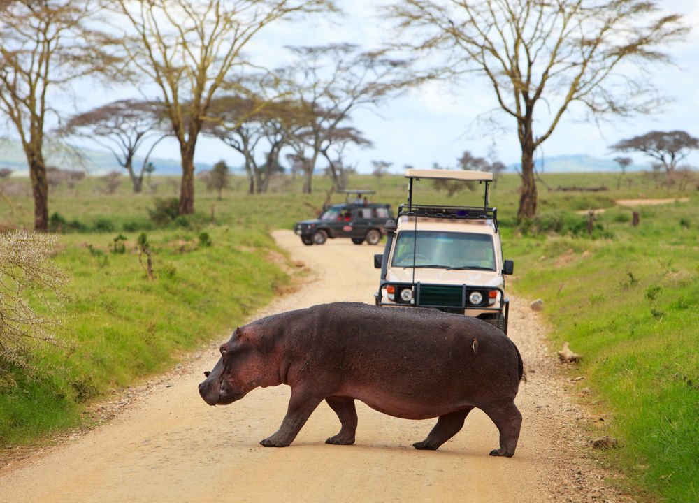 Övergångsställe i Serengeti, på väg att bada.
