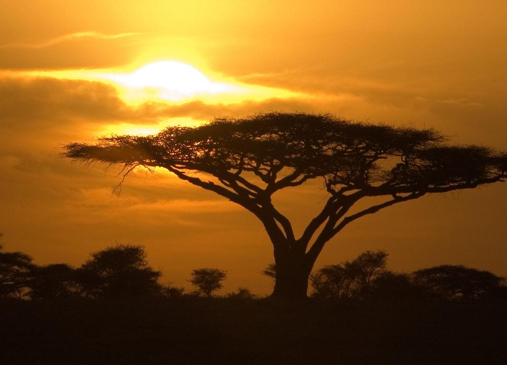 Akaciaträd i skymningen.
