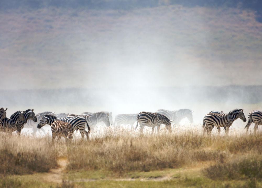 <P>Sebraflock, Ngorongoro.</P>