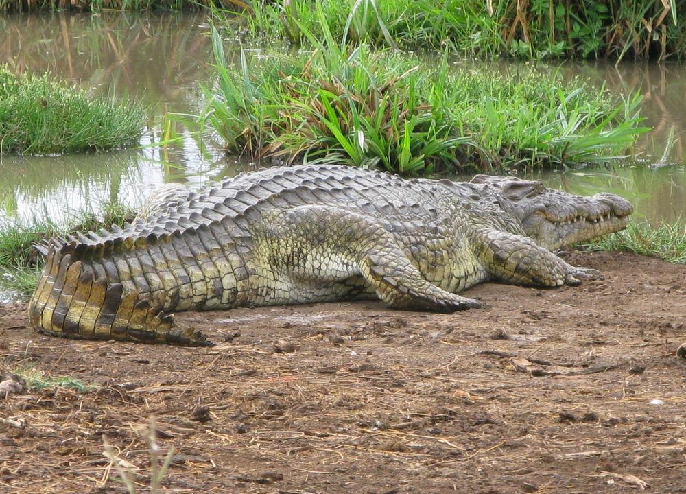 <P>Elven Luangwa huser en mengde krokodiller.</P>