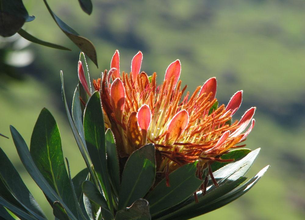 Protea er Sør-Afrikas nasjonalblomst.