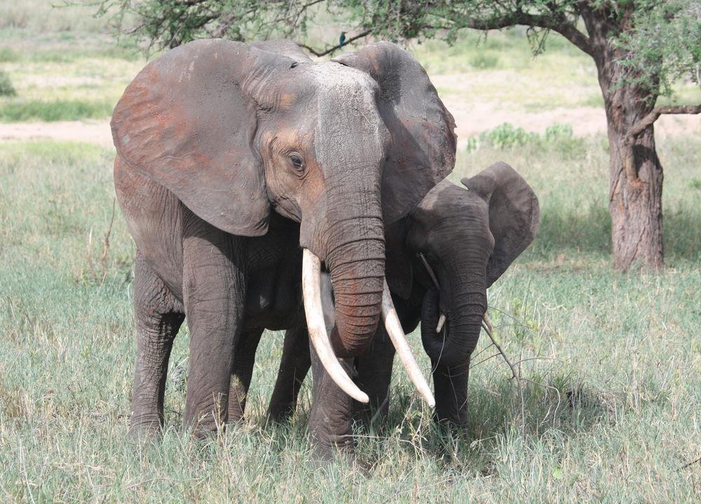 Store hjorder elefanter kan finnes i South Luangwa.