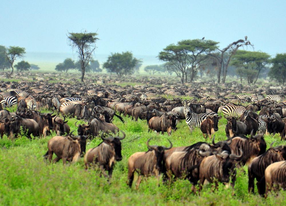 Store deler av vinterhalvåret befinnermigrasjonen seg i Serengeti.