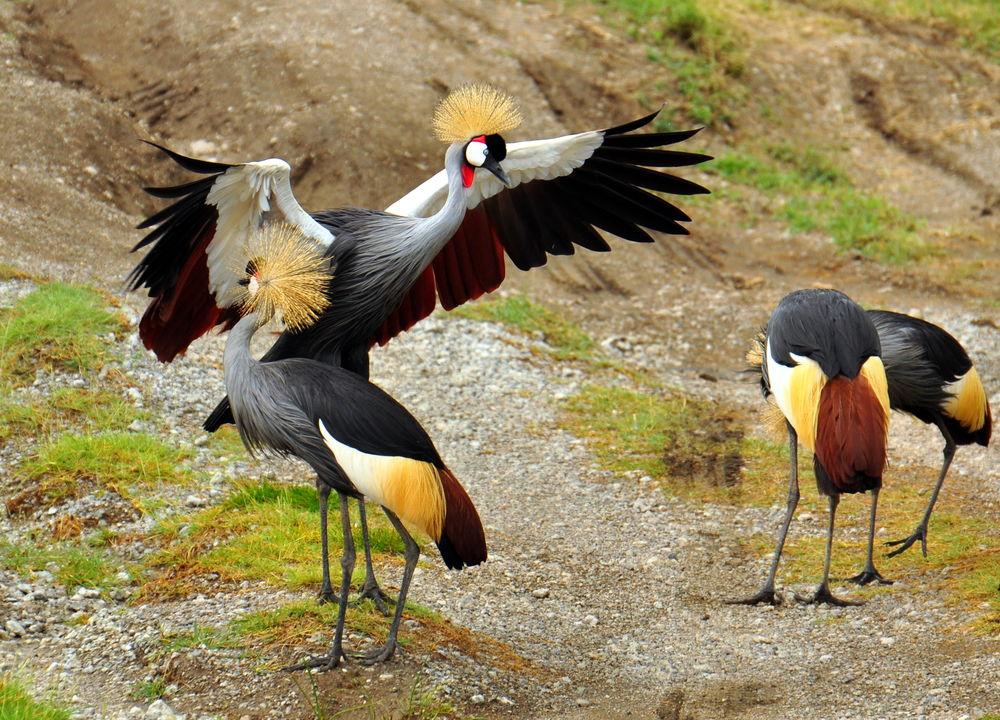 <P>Krontranan - Ugandas nationalfågel</P>