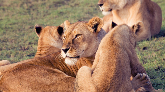 Løvemamma med unger under en safari i Serengeti Nationalpark.