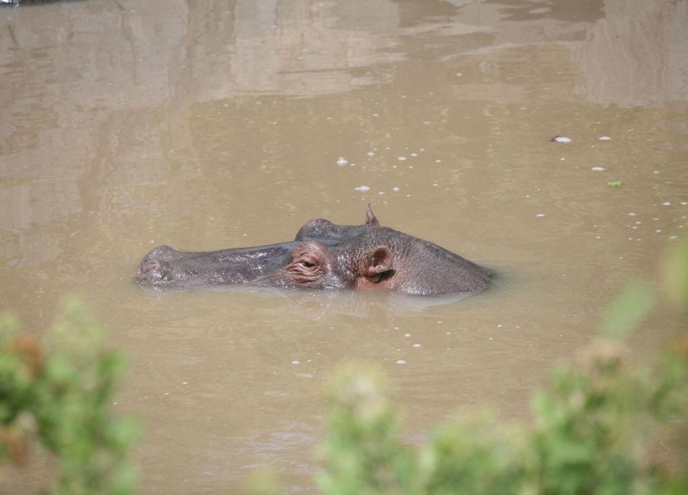 Flodhest i Serengeti.